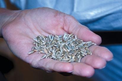 Grains from Carolina Ground